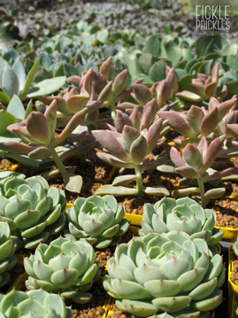 Collectable Succulents