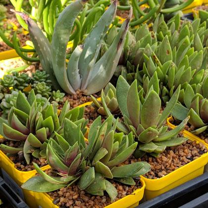 Crassula orbicularis rosularis