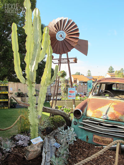 Euphorbia ammak variegata with windmill