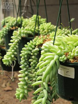 Succulent Hanging Baskets