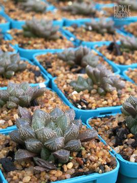Named varieties of Haworthia