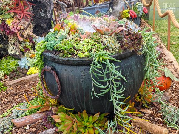 Witches Cauldron Succulents
