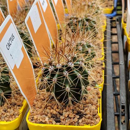 Cacti - including Saguaro Cactus