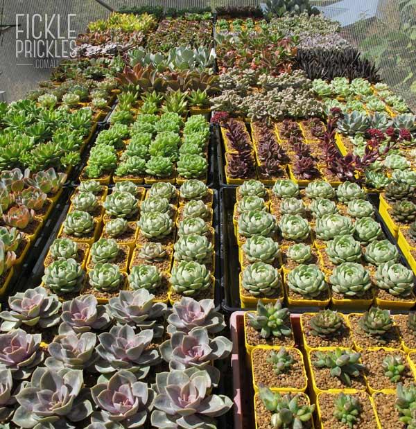 Succulent sun collectables