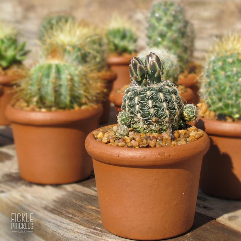 Succulent wedding gifts terracotta - cacti