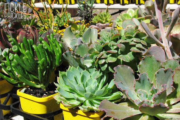 Larger succulents