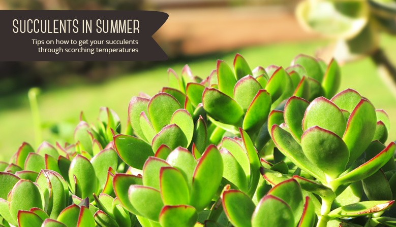 Succulents in Summer - Tips on how to get your succulents through scorching temperatures
